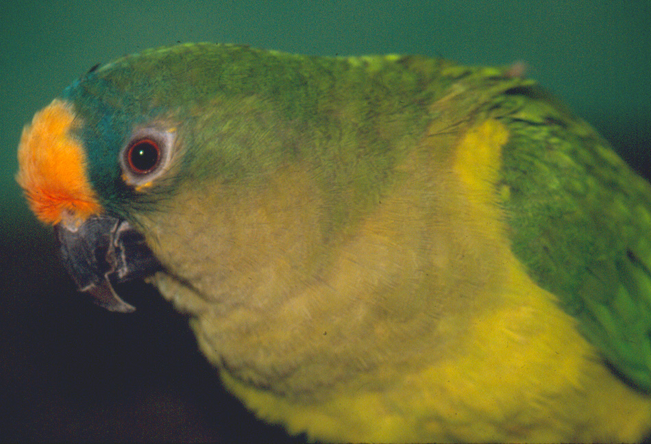 peachfronted conure close-up